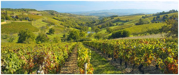 Beaujolais vineyards