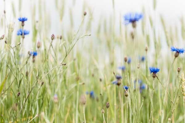 Auvergne wild flowers
