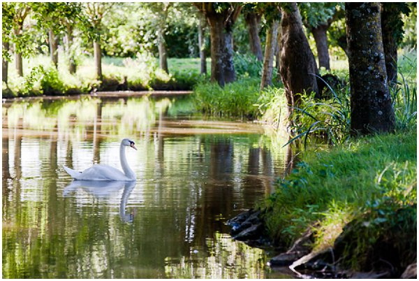 swan on lake at Thire Garden