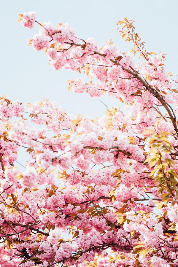 Springtime Cherry Blossom Paris