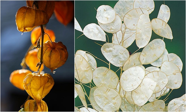 Physalis Alkekengi and shimmering white Lunaria