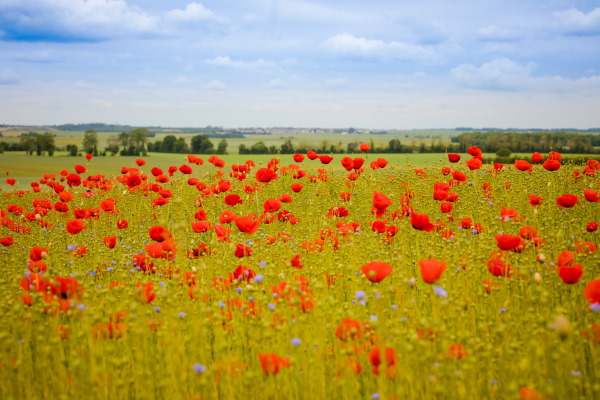 Field of poppies in Normandy France