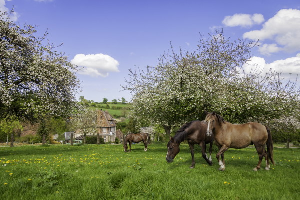 Horses in field in Normandy France