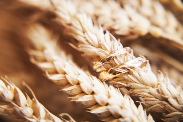 Wheat with wedding rings