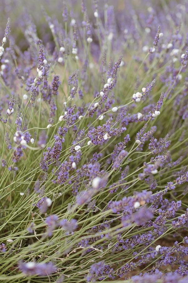 Gordes lavender