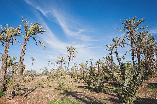 Marrakesh palm grove