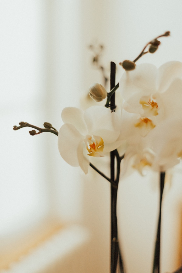 Details of Wedding Orchid