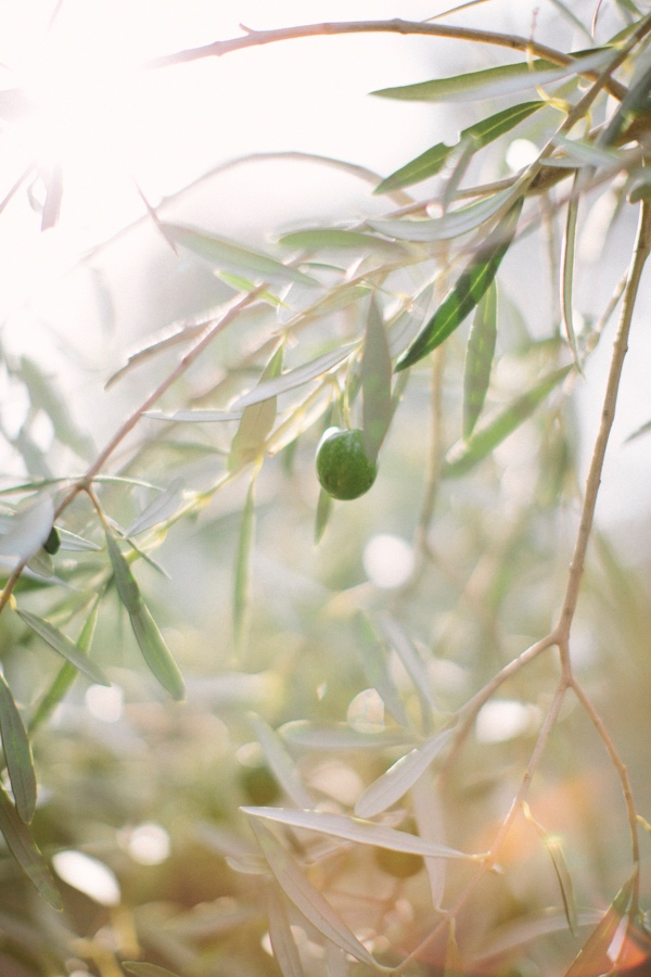 French Olive Tree