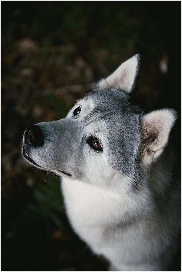 cute dog in the Alps Husky