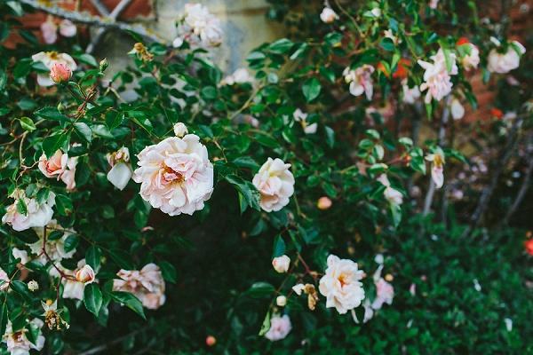 garden roses wedding