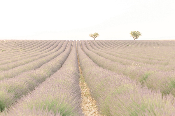 South of France lavender fields