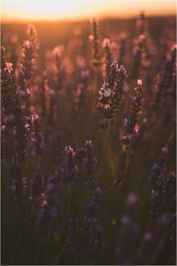 Engagement ring on lavender at sunset