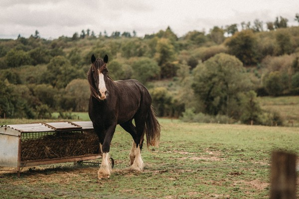 black shire horse in green field