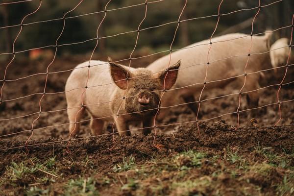 muddy faced piglet